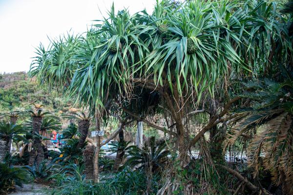 あやまる岬ソテツジャングル